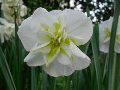 Narcissus 'Lemon Beauty' http://lefotodiluisella.blogspot.it/