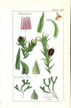 """Hand-colored botanical illustration. Mosses. Genus: Orthotrichium (several species shown). Common names: bristle-moss, tree cushion moss. Family: Orthotrichiaceae. Name origin: """"Ortho"""" = straight; """"trichium"""" = hairs, refers to the erect hairs on the calyptrae (cap-like papery covering of buds) on many species Name Origins, Common Names, Small Plants, Leaf Shapes, History Books, Botanical Illustration, Natural History, Hand Coloring, Botany"""