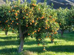 Citrus Trees, Fruit Trees, Trees To Plant, Orange Trees, Florida Trees, Florida Plants, Fast Growing Shade Trees, Growing Plants, Thuja Green Giant