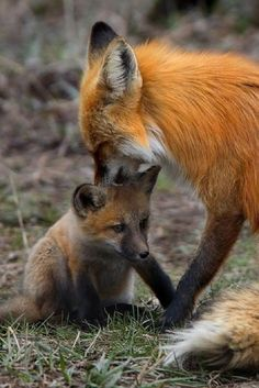 Baby fox with mum... - Pixdaus