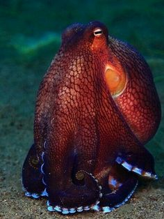 "cephalopost: "" Coconut Octopus by Eugene Lim "" Beautiful Sea Creatures, Deep Sea Creatures, Animals Beautiful, Underwater Creatures, Underwater Life, Coconut Octopus, Beautiful Fish, Sea And Ocean, Ocean Life"