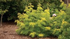 Lemony Lace Elderberry - Full to part sun. Height 3-5feet, Width 3-5 feet Zones 3-7 Chartreuse foliage, compact form, white spring flowers and red fall fruit. Birds and other wildlife will love this plan, too. Gardening Club - Scout.com