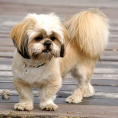 The Lhasa Apso was bred as a sentinel for monks in ancient Tibet. It continues to bark aggressively at unexpected sights or sounds today. If this barking will not annoy neighbors, the Lhasa is comfortable in an urban space. The Lhasa is also good with children & other dogs, & able to handle heat well. Its coat, which comes in colors from black to white, requires regular maintenance.