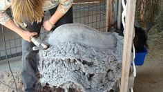 AMERICAN CASHMERE GOATS: Cashmere Processing and Harvesting Procedures