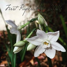 First Paperwhite 2016 in the garden #garden #flowers #plants #nature #bloom #whiteflower #Paperwhites #outdoors #grow #bulbs #