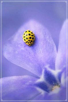 Yellow ladybug -- Not sure this is a coccinelid. There are other spotted beetles out there. Beautiful Bugs, Amazing Nature, Beautiful World, Beautiful Flowers, Macro Fotografie, Fotografia Macro, Beautiful Creatures, Animals Beautiful, Yellow Ladybug