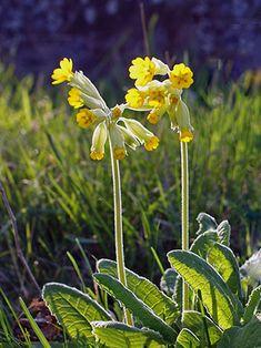 Kevätesikko, Primula veris - Kukkakasvit - LuontoPortti