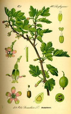 Greatest Quality Gooseberries So High And Duck Free Gooseberry Plant, Gooseberry Recipes, Cape Gooseberry, Plant Pictures, Old Pictures, Flora, Language Of Flowers, Plant Drawing, Wild Edibles