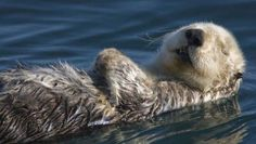 New research has finally revealed how parasites from cat poop are killing sea otters. The discovery not only may benefit the endangered marine mammals; it could also help humans. Tier Wallpaper, Animal Wallpaper, Wildlife Wallpaper, Baby Animals, Funny Animals, Cute Animals, Otter Love, River Otter, Fauna