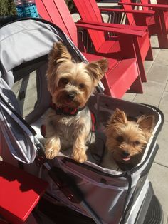 Baby Puppies, Cute Puppies, Teacup Yorkie, Yorkshire Terrier Puppies, Pet Loss, Yorkies, Cute Animals, Terriers, Dogs