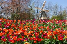 Keukenhof Garden — Lisse, Netherlands | The largest and most colorful garden in the world, with more than 7 million bulbs in bloom and 800 varieties of tulips.  Besides the colorful flowers, the garden has a petting farm, a maze, and a playground for children.