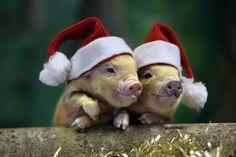 Pet Pigs, Baby Pigs, Animals And Pets, Baby Animals, Cute Animals, Christmas Animals, Christmas Cats, Merry Christmas, Vegan Christmas