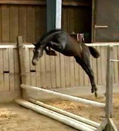 Never too young to start.  Jumping is in the blood.   For some horses, jumping is their passion.