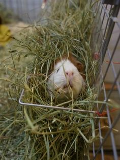 cute guinea pig hiding in hay