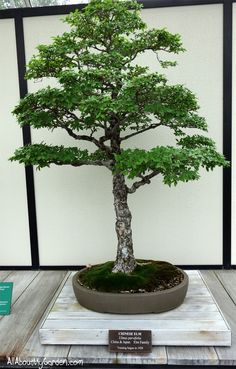 chinese-elm-bonsai