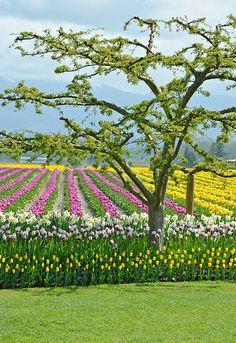 Colorful tulip farm, British Columbia, Canada