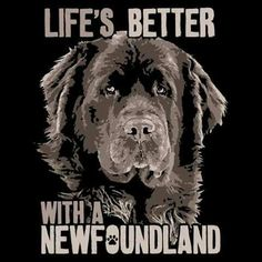 That's Leroy. Someone stole his picture and put it on a sweatshirt. #NewfoundlandDog