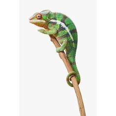 Colourful Panther Chameleon (Furcifer pardalis) on a white background St Albert Alberta Canada Canvas Art - Corey Hochachka Design Pics (12 x 19)