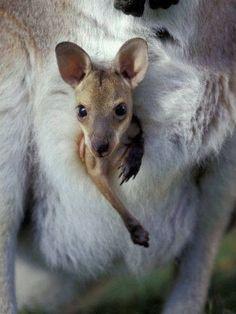 Baby Kangaroo (Red-necked Wallaby Joey in Pouch, Bunya Mountain National Park, Australia) Beautiful Creatures, Animals Beautiful, Australian Animals, Tier Fotos, Mundo Animal, All Gods Creatures, Cute Baby Animals, Pet Birds, Animal Kingdom