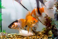 Die besten 25 goldfischteich ideen auf pinterest for Goldfischteich pflege