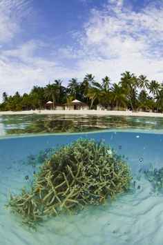 Athuruga, #Maldives  Humbug Dascyllus, #Staghorn #coral