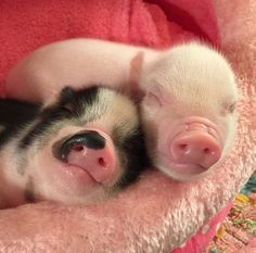 pig having piglets Cute Baby Pigs, Baby Piglets, Cute Piglets, Super Cute Animals, Cute Little Animals, Cute Funny Animals, Baby Animals Pictures, Cute Animal Pictures, Teacup Pigs