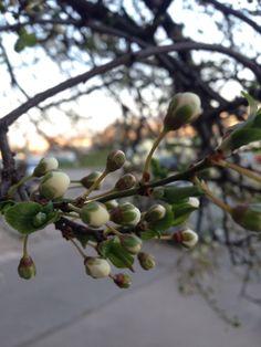 Rügyező fa Fruit, The Fruit