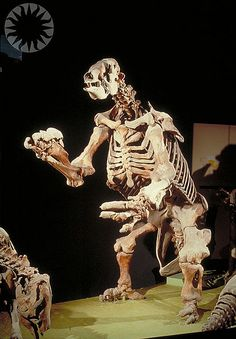 giant ground sloth at the Smithsonian - bring all out of town guests here :-) Extinct Animals, Zoo Animals, Prehistoric Wildlife, Dinosaur Bones, Sloths, Prehistory, National Museum, Natural History, Folklore