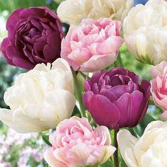Tulppaanilajitelma 'Victoria mix' Victoria, Rose, Flowers, Plants, Pink, Plant, Roses, Royal Icing Flowers, Flower