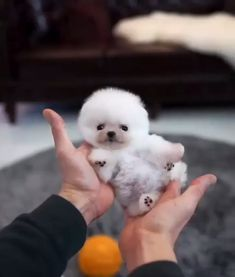 Micro Pomeranian Female is here! 🐻😍❤-Micro Pomeranian Female is here! Cute Baby Puppies, Super Cute Puppies, Really Cute Puppies, Cute White Puppies, Funny Puppies, Funny Dogs, Baby Animals Super Cute, Cute Little Animals, Cute Funny Animals