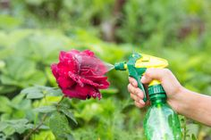 Whether aphids are eating your trees, your roses, or another plant in your garden, they can range from being annoying to completely destroying everything you've grown! Use these all-natural ways to get rid of aphids and prevent them from coming back. Outdoor Plants, Garden Plants, Herb Garden, Organic Gardening, Gardening Tips, Get Rid Of Aphids, Plant Bugs, Chlorophytum, Neem Oil