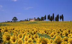 tuscani, dream, sunflowers, venice italy, tuscany italy, travel, place, itali, fields