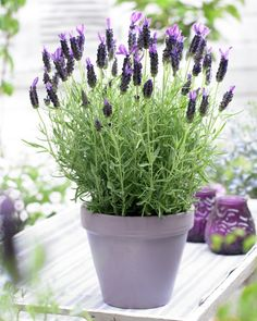 Butterfly 'Anouk' Lavender (also knows as Spanish or French lavender), is a hardy, drought tolerant, deer resistant shrub with highly aromatic flowers and foliage. It has a long bloomi…