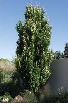 Columnar Buckthorn - privacy hedge