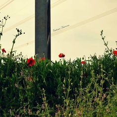 #beautiful #flowers #green #iphonesia #light #love #mothernature #nature #photooftheday #sun #sunset #TagsForLikes #tree #softness #colors #prospettiva #dettagli #natura #alwaysfollowback #followbackalways #followme #tagsta #instagram #photo #myphoto #scatti #papaveri #red #spring #pugliaview