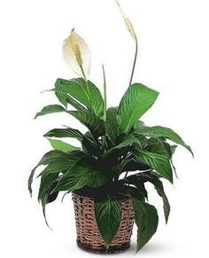 Order Small Spathiphyllum Plant from Ace Flowers, your local Houston florist, Floristeria. Send Small Spathiphyllum Plant for fresh and fast flower delivery throughout Houston, TX area. Indoor Garden, Indoor Plants, Peace Lily Plant, Fast Flowers, Vash, White Lilies, Plant Illustration, Cool Plants, Flower Delivery