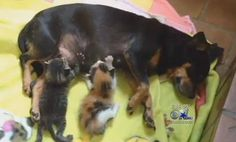 """Shelter Finds Abandoned Chihuahua Nursing Her Adopted Kittens  """"She didn't care what species it was. All she knew, she was a mother and these were babies and they needed her."""""""