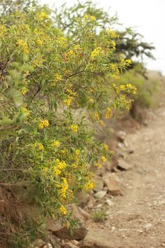 mi casita en el bosque: Camino a San Agustín ♥ Flourensia oolepis