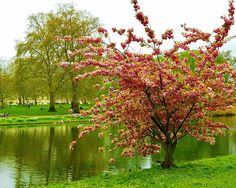 Pink Cherry Blossom Tree At St James Park by David Lobos - Pink Cherry Blossom Tree At St James Park Photograph - Pink Cherry Blossom Tree At St James Park Fine Art Prints and Posters for Sale