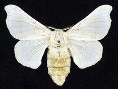 Domesticated silkmoth  (Bombyx mori)