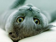Russian Blue kitty. This one looks like my baby girl, Sophie. Miss you, sweet girl.