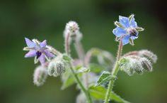 Tradicionalmente se utilizaba la planta de borraja entera, pero ahora se sabe que contiene sustancias tóxicas y solo son útiles las semillas.