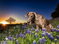 Great Dane Funny, Great Dane Dogs, Best Dogs, Blue Merle Great Dane, Great Dane Temperament, Group Of Dogs, Street Dogs, Pet Photographer, Working Dogs