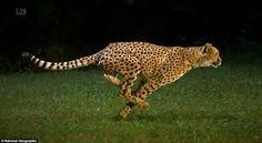 Bildergebnis für cheetah