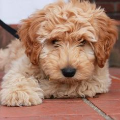 Check out our upcoming Australian Labradoodle puppy litters. We keep this list of litters up to date with all upcoming planned litters of puppies. Cute Cats And Dogs, Cute Dogs And Puppies, Doggies, Miniature Australian Labradoodle, Puppy Litter, Cutest Puppy Ever, Puppy Grooming, Labrador Retriever Dog, Bull Terrier Dog