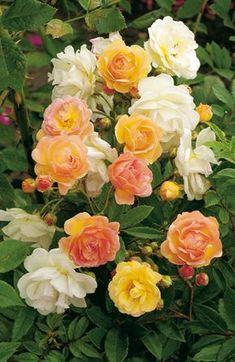 Rose Golden Climber 1L