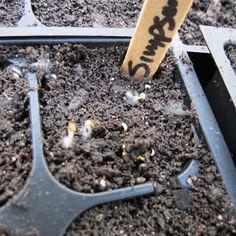 The Rusted Vegetable Garden: Using Cinnamon on Seedlings: Stop 'Damping Off' Diseases!