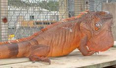 Red phase green iguana also known as green iguana