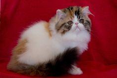 Catshire - Gatos Persas