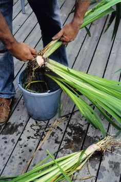 Iris plants are dependable spring performers, blooming for decades in the sunny garden. Learn the secrets of transplanting to keep the rhizomes healthy. Iris Garden, Lawn And Garden, Spring Garden, Side Garden, Winter Garden, Herb Garden, Ivy Plants, Garden Plants, Foliage Plants